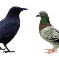 Corvi e piccioni