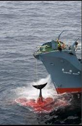 Crisi diplomatica Australia - Giappone per balene